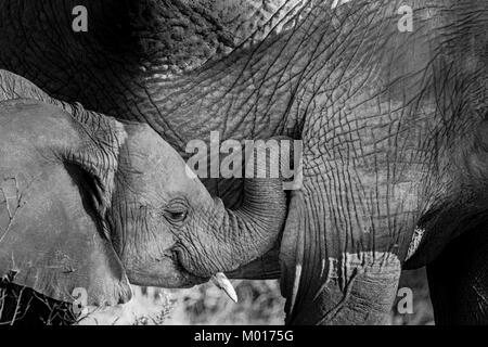 Black and white image of a baby African Elephant, Loxodonta africana, showing affection to its mother, Buffalo Springs - Stock Photo