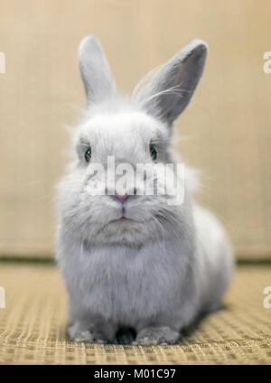 Portrait of a young gray Lionhead Rabbit - Stock Photo