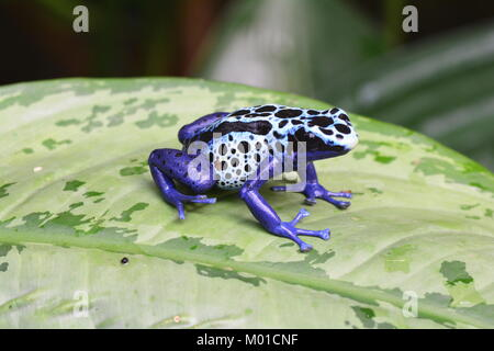 A pretty cobalt blue colored poison dart frog sits on a plant leaf in the gardens. - Stock Photo