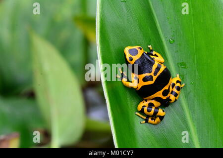 A pretty little bumble bee colored poison dart frog sits on a plant leaf in the gardens. - Stock Photo