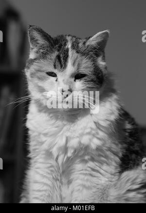 Black-and-white close-up image of a calico cat - Stock Photo