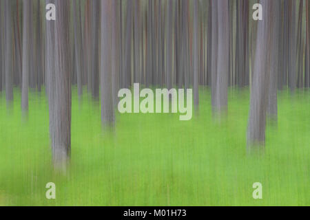 Abstract Scots Pine (Pinus sylvestris) forest with green underground, Abernethy Forest, Highland, Scotland, UK - Stock Photo
