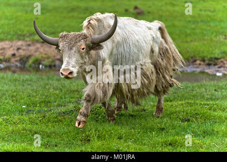 Yak with horns on a pasture, Gorkhi-Terelj National Park, Mongolia - Stock Photo
