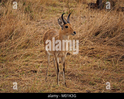 Bohor reedbuck (Redunca redunca wardii) in Masai Mara conservancies Kenya, Africa with diagnostic black stripes - Stock Photo
