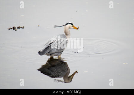 Grey heron catching a small eel - Stock Photo