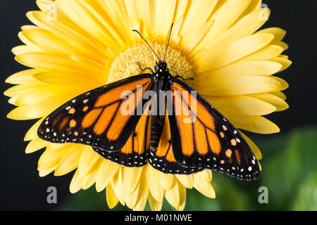 Monarch butterfly Danaus Plexippus with wings spread while resting on a bright yellow gerbera daisy flower - top - Stock Photo