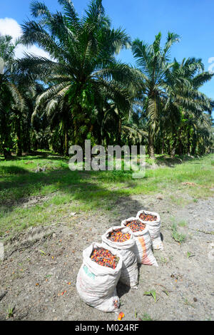 A crop of palm oil fruit collected in bags in a palm oil plantation, Borneo, Sabah, Malaysia - Stock Photo