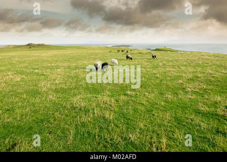 sheeps flock herd grazing on the coast over the ocean - Stock Photo