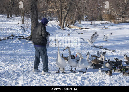 Man feeds geese and swans during the winter in Prospect Park when food is hard to come by.  Brooklyn, New York. - Stock Photo