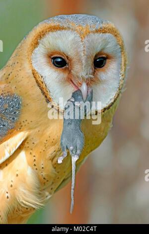 Barn Owl holding mouse in beak, portrait closeup Stock ...