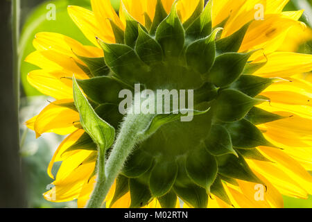 Common sunflower backlit close up, rear view, green disk and yellow rays of petals, in agriculture field, Fengbin - Stock Photo
