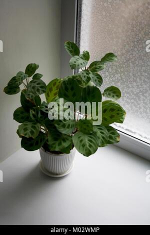 Maranta plant in white ceramic pot isolated near window - Stock Photo