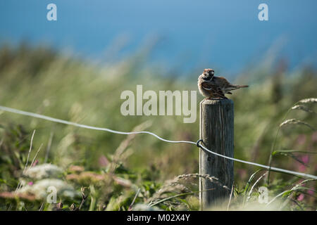 Single tree sparrow perching on wooden fence post with wavy grasses & blue sea background - Bempton Cliffs nature - Stock Photo
