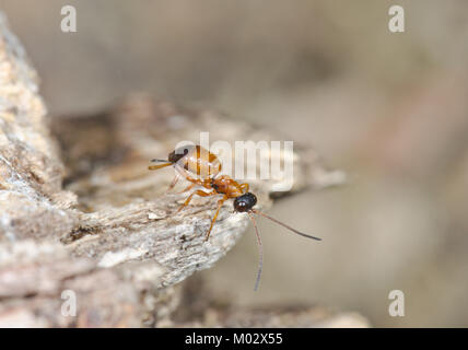 Wingless Ichneumon Wasp (Gelis sp). Sussex, UK - Stock Photo