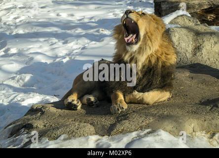 African Lion Calgary Zoo AB - Stock Photo