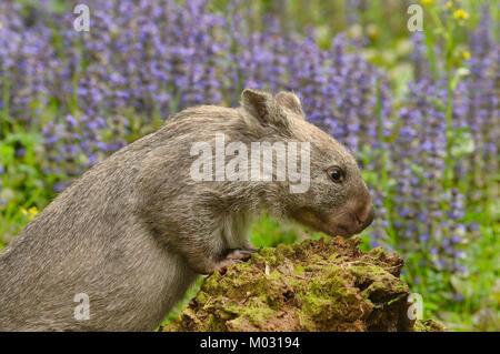 Common Wombat Vombatus ursinus Photographed in Tasmania, Australia - Stock Photo
