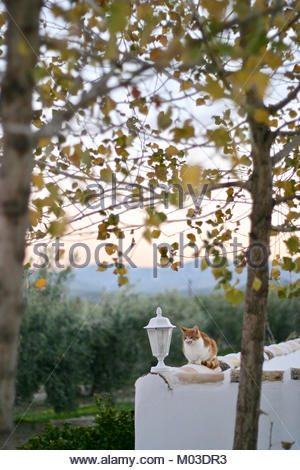 Cat sitting on a white wall in front of a spanish home in olive grove - Stock Photo