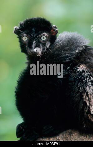 Blue-eyed Black Lemur, male / (Eulemur flavifrons, Eulemur macaco flavifrons) | Blauaugenmaki, maennlich - Stock Photo
