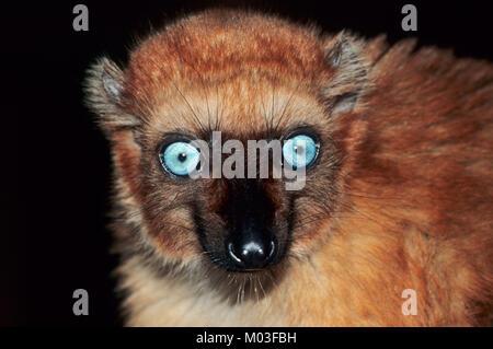 Blue-eyed Black Lemur, female / (Eulemur flavifrons, Eulemur macaco flavifrons) | Blauaugenmaki, weiblich - Stock Photo