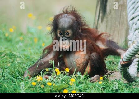 Young Bornean Orang-utan / (Pongo pygmaeus pygmaeus)   Borneo Orang-Utan, Jungtier / (Pongo pygmaeus pygmaeus) - Stock Photo