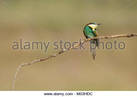 European Bee-eater (Merops apiaster) adult, scratching, perched on branch, Vojvodina, Serbia, June - Stock Photo