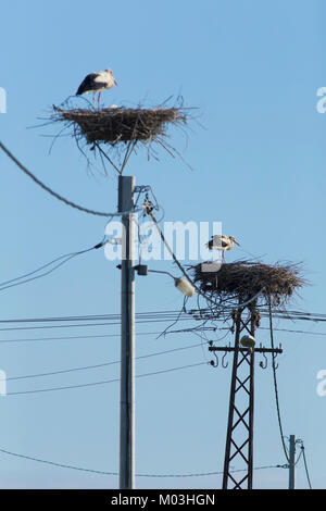 White Stork (Ciconia ciconia) two adults stood on nests, on platform built on electric pylon, Vojvodina, Serbia, - Stock Photo