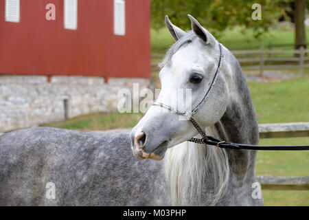 Arabian horse in close up, portrait of a dapple gray outdoors looking away in a farm setting. - Stock Photo