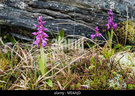 Early-purple orchid (Orchis mascula) flower spikes growing in Trollfjell Geopark tundra vegetation in summer. Vega - Stock Photo