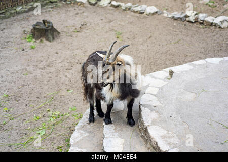 Mountain goat on stones. Abstract animal photo. - Stock Photo