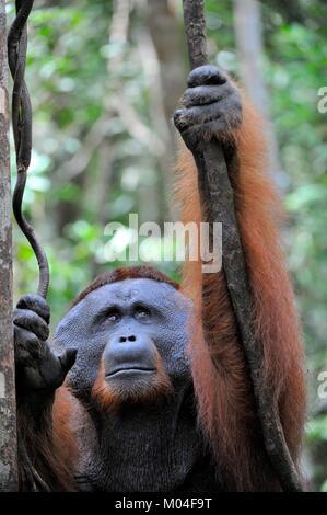 The adult male of the Bornean orangutan (Pongo pygmaeus). - Stock Photo