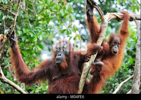 Mother orangutan and cub in a natural habitat. Bornean orangutan (Pongo pygmaeus wurmbii) in the wild nature. Rainforest - Stock Photo