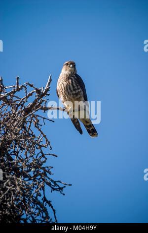 Merlin (Falco columbarius) perched in tree searching for prey, Quartz Creek, Chugach National Forrest, Alaska - Stock Photo