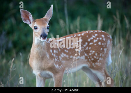 White-tailed deer fawn (Odocoileus virginianus) - Stock Photo