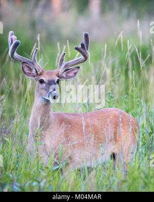 White-tailed deer buck (Odocoileus virginianus) with velvet antlers in meadow - Stock Photo