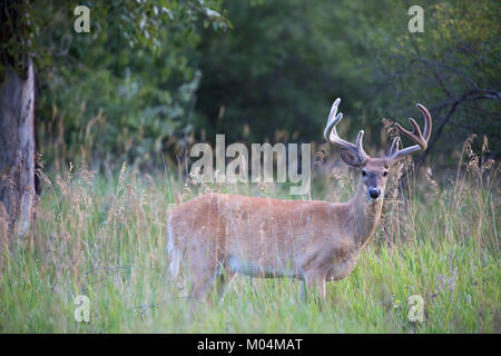 White-tailed deer buck (Odocoileus virginianus) with velvet antlers in riparian forest meadow - Stock Photo