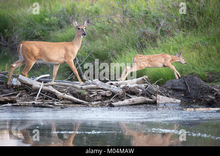White-tailed deer doe and fawn (Odocoileus virginianus) crossing stream on beaver dam - Stock Photo