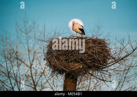 Adult European White Stork Standing In Nest On Full Moon In Blue Sky Background. - Stock Photo