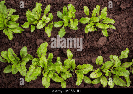 The seedling beet growing in a transparent container on the window in the earthen soil in a Sunny day for planting - Stock Photo