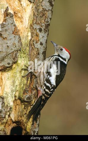 Mittelspecht, sucht an morschem Baumstamm nach Nahrung, Mittel-Specht, Specht, Leiopicus medius, Dendrocopos medius, - Stock Photo