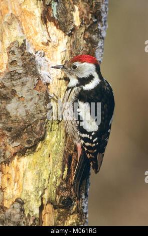 Mittelspecht, sucht an morschem Baumstamm nach Nahrung, Vogelfütterung: Fettfutter in Ritzen verteilt, Mittel-Specht, - Stock Photo