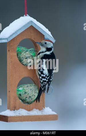 Mittelspecht, Mittel-Specht, Mittlerer Specht, an der Vogelfütterung, Fütterung im Winter bei Schnee, an Häuschen - Stock Photo