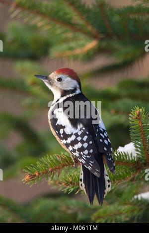 Mittelspecht, Mittel-Specht, Mittlerer Specht, Leiopicus medius, Dendrocopos medius, Middle Spotted Woodpecker - Stock Photo