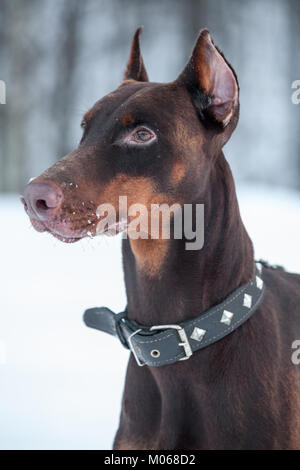Close-up portrait of purebred brown doberman pinscher at winter season - Stock Photo