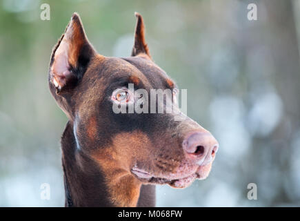 Close-up of brown Dobermann dog head - Stock Photo