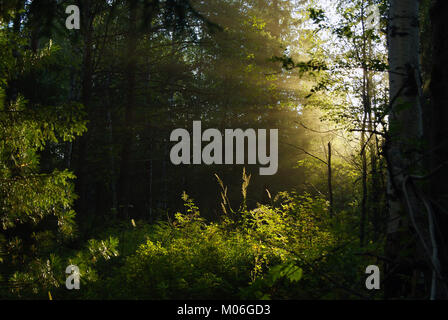 sunlight penetrating through dense foliage in the shady twilight of the undergrowth - Stock Photo
