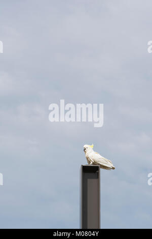 Sulphur-Crested Cockatoo (Cacatua Galerita) perched on top of a metal post. - Stock Photo
