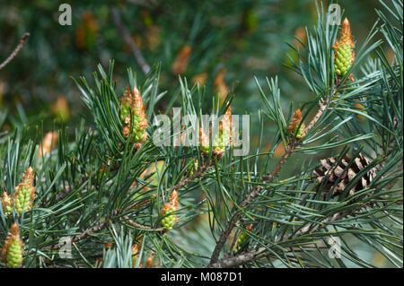 New cones growing on a scots pine ( pinus sylvestris) - Stock Photo