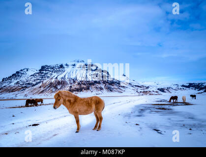 Icelandic horses, Pretty themselves and amazing landscapes. One of the many reasons why everyone falls in love with - Stock Photo