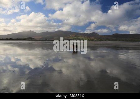 an irish setter dog standing on the sea sky reflections brandon bay, dingle peninsula, county kerry, ireland - Stock Photo