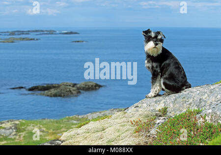 Miniature Schnauzer, black-silver, at the coast, Lofotes, Norway | Zwergschnauzer, schwarz-silber, an der Kueste, - Stock Photo